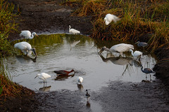 Watering Hole-9882 (Don Burkett) Tags: nature birds animal fauna canon florida outdoor wildlife southflorida dlsr wakodahatcheewetlands donburkett canon7dmkii 100400mii ef100400f4556liiusm dtburkett