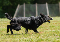 2016-05-22, IPO Training-13 (Falon167) Tags: dog shepherd german miles gsd germanshepherddog