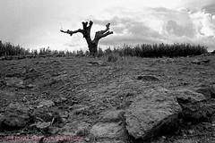 ALBERO SOLITARIO (GRAZIE PER LA VISITA) Tags: bw tree bn albero diapositive messico scansioni monocromatica epsonv550photo