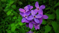 flower (bilal gldoan) Tags: flowers blue flower flickr blossom mor redflower blueflower flowerpots iek flowertulip