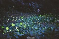 Even the nights are better ([M!chael]) Tags: film nature pentax takumar kodak hsinchu taiwan f spotmatic manual smc firefly spf 5014  ultramax400
