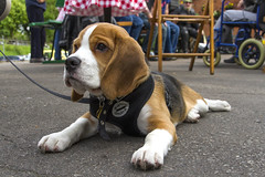 Wilfred (Kev Gregory (General)) Tags: dog pet black beagle station train training puppy great central tan railway calm steam gregory kev wilfred placid rothley gcr