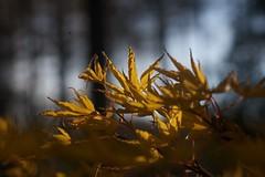 focus on the yellow bit 2 (diminoc) Tags: tree leaves yellow outdoors leaf maple arboretum depthoffield westonbirt