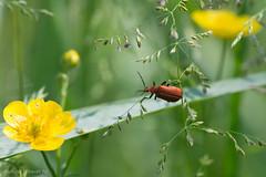 AAF_3464 (De Hollena) Tags: cardinal beetle pyrochroaserraticornis roodkopvuurkever redheadedcardinalbeetle rotkpfigerfeuerkfer
