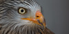 Red kite - Rotmilan (pe_ha45) Tags: raptor birdsofprey redkite milvusmilvus milanroyal milanoreal rotmilan milhafrereal greivogel nibbioreale
