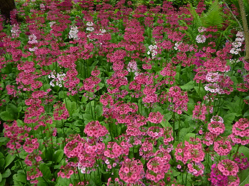 Upton House and Gardens - pink flowers