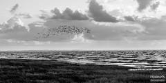 Austernfischer, Nordsee (SaschaHaaseFotografie) Tags: white black nature birds animals tiere natur vgel nordsee schwarz weis austernfischer