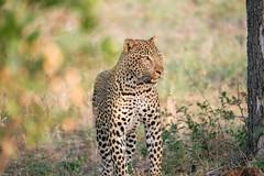 Nice male leopard (knipslog.de) Tags: africa southafrica wildlife urlaub safari leopard südafrika krugernationalpark bigfive big5 suedafrika krügernationalpark