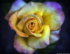 Sontuosoa Rosa (mjardeen) Tags: plant flower texture mamiya washington pattern sony petal 55mm m42 wa tacoma f18 a7ii standardlens sekor nikcolorefex mamiyasekor55mmf18 a7m2 sontuosoarosa
