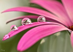Endless dreams (Trayc99) Tags: pink flower water canon droplets petals drops bokeh waterdrops floralart beautyinnature softbackground capedaisy flowerphotography beautyinmacro