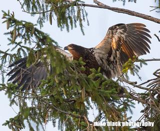 Bald Eaglet at NJ shore