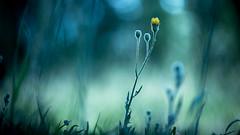 10062016-_DSC9311 (Hexilene) Tags: flowers color macro nature fleur nikon sigma proxy blueribbon bokey nikonpassion macrodreams