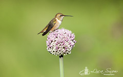 IMG_8939_edit_resized_wm (Lisa Snow Photography) Tags: hummingbird