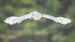 Snowy Owl (Dara Lork) Tags: canon snowy wildlife raptor owl 200400mm 1dx