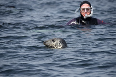 Close encounter for Paul (mothclark62) Tags: trip sea wild tourism nature st swimming swim mammal island grey islands coast boat marine rocks wildlife shoreline tourist tourists snorkeling seal seals martins eastern mammals isles scilly scillies pinipeds piniped menawethan