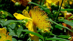 Millepertuis perfor (bernard.bonifassi) Tags: bb088 06 alpesmaritimes 2016 thiery counteadenissa fleur plante jaune