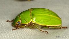 Jewel Scarab (Ecuador Megadiverso) Tags: ecuador beetle coleoptera mindo rutelidae jewelscarab birdwatcherslodge andreaskay