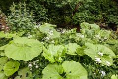 Roman Spinach and makeshift Umbrellas (Macro light) Tags: water woods wildlife trust worcestershire romans butterbur leighbrook groundelder theknapp