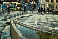 ~Seagull (punipuki) Tags: street city bird water japan tokyo seagull sigma tsukiji    dp2s