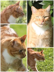 Taco...unser Schatz / our sweetheart (Andylinchen) Tags: nature animal cat canon germany garden deutschland friend natur garten kater g10 canonpowershotg10 canong10