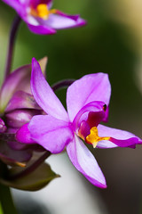 Ground Orchid (dmunroephoto) Tags: usa orchid flower macro closeup canon florida bartow groundorchid spathoglottisplicata canoneosrebelt1i canonef100mmf28lmacroisusm