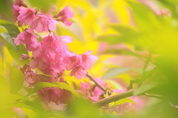 ntut-sakura