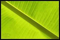 Green Leaf (Banana Leaf)