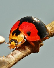 Ladybird (John Horstman (itchydogimages, SINOBUG)) Tags: china red macro insect beetle ladybird yunnan coleoptera coccinellidae itchydogimages sinobug