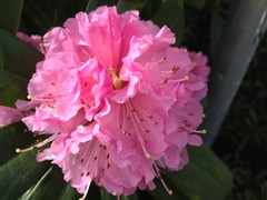 A welcome sign of spring (fotovision47) Tags: pink friends sunlight green leaves yellow closeup rhododendron showroom bej img0611 heartawards doubledragonawards flickraward sapphireawards poppyawards redgroupno1 yellowgroupno2 fotovision47 flowersfromallovertheworld