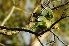 Red-lored Parrot - 1 (Odonata457) Tags: parrot amazona redlored autumnalis