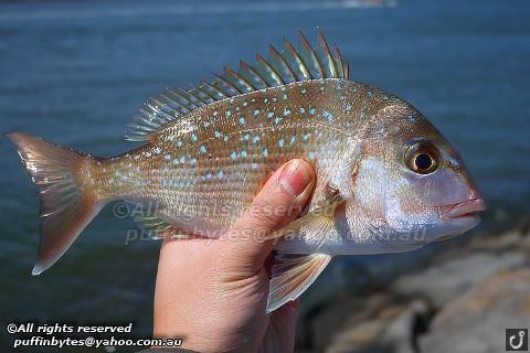 Snapper - Pagrus auratus