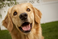 | Brady | (SOBPhotography) Tags: portrait rescue dog chien pet color dogs cane goldenretriever landscape photography golden picture canine hond retriever perro hund photograph brady dogphotography goldenretrieverrescue