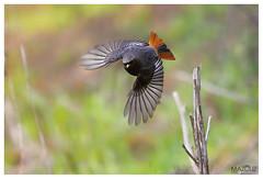 "Black Redstart (aziouezmazouz) Tags: cute bird amazing bokeh ngc npc beautifulscenery beautifulcapture naturewatcher ""flickraward"""
