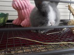 Abby 4 (sakura_chan15) Tags: rabbit bunny netherlanddwarfrabbit