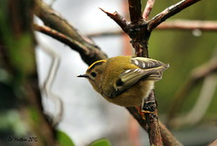 Going for Gold - Goldcrest,regulus regulus (claylaner) Tags: bird pool woodland cheshire ngc crest npc warbler goldcrest poynton passerine regulusregulus canon60d mygearandme mygearandmepremium