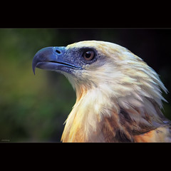 Eagle (-clicking-) Tags: nature birds animal wings natural eagle feathers vietnam specanimal vietnamesebirds chimibng
