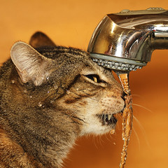 Thirsty (Solomulala | mostly weekends ;-( !) Tags: orange water closeup cat canon square de agua kat foto drink gato 7d tap grifo beber solomulala ¨muriel murieldejong