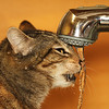 Thirsty (Solomulala   mostly weekends ;-( !) Tags: orange water closeup cat canon square de agua kat foto drink gato 7d tap grifo beber solomulala ¨muriel murieldejong