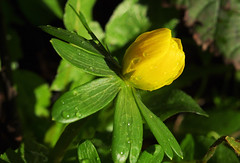 Eranthis (Mike Serigrapher) Tags: winter flower macro yellow garden pentax sigma stockport k5 woodley aconite 105mm eranthis