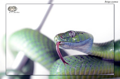 Boiga cyanea - green cat snake (rear-fanged) Tags: catsnake cyanea boiga rearfanged