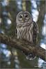 "Barred Owl (201201206-1862) (Earl Reinink) Tags: travel ontario canada bird art nature birds photography landscapes nikon flickr canadian niagara raptor owl earl bif ""lake ""bird ""nikon ""niagara photography"" ""birds ""nature ontario"" ""landscape ""fine ""earl peninsula"" flight"" owl"" lenses"" ""travel erie"" d3"" ""barred d3s"" reinink"""