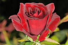 () Tags: rose iso200 rosa  rosarugosa   f32 blacklady 1050mm friendlyflickr nikoncorporation 160secs rosahybrida nikond300s  20120419173241