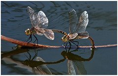 Double Dragonflies (Barbiejay2) Tags: blue two water dragonflies wildlife double wetlands laratinga barbleopold abcopen:project=upclose