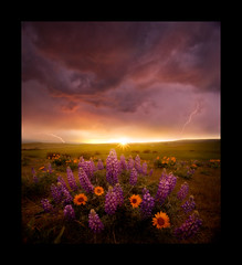Zeus (Lijah Hanley) Tags: sunset flower rain oregon valley lightning root wildflower lupine pleasant balsam dalles sunster