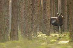 European Elk (Andrea Zampatti_Wildlife Photographer) Tags: wild european wildlife poland polska moose elk bison wisent