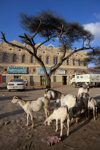 Hargeisa Square Old Building Goats Flock And Tree, Somaliland
