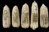 White maize cobs colonized with Aspergillus (IITA Image Library) Tags: maize zeamays colonization diseases aspergillus