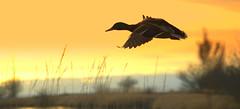 Duck flying off into the sunset (Catriona67) Tags: bird heron nature water birds animals reflections duck woodpecker waterfoul wildlife ducks mallard blueheron sanctuary foul birdsanctuary reifel woodduck pintailduck pintail