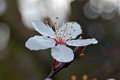 Blossoms at Mother's Day (DaveJC90) Tags: pink light shadow sun sunlight white blur flower detail macro yellow closeup dark march petals spring stem focus day blossom head background blossoms mother sunny sharp petal bud shape mothersday sharpness flowersadminfave
