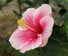 Hibiscus... Explored # 6... TYVM (Joevimalraj) Tags: pink india white flower macro green leaves canon exposure dof bokeh center joe powershot pistil hibiscus tip bud chennai raj shoeflower vimal jvr xs30is joevimalraj